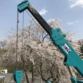 二本松市も桜がいい感じです♪